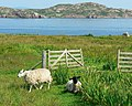 Sheep in a field and Gate, Iona - geograph.org.uk - 983958.jpg