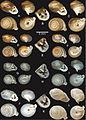 Shells of Perrottetia species - ZooKeys-287-041-g003.jpeg
