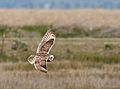 Short-eared Owl - Ruh-red Road - 2.jpg
