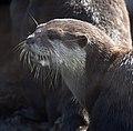 Short Clawed Otter 2d (5512583312).jpg