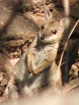 Shorteared Rock Wallaby.JPG