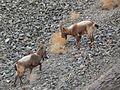 Siberian ibex (Capra sibirica) males (1).jpg