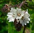 Sidalcea malachroides 5.jpg