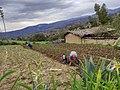 Siembra de maíz Deshierbe en Vallicopampa.jpg