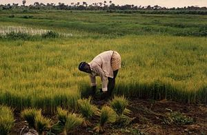 Sierra Leone rice farming