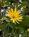 Silphium perfoliatum, bekerplant. Locatie De Kruidhof.JPG