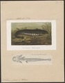 Silurus glanis - 1700-1880 - Print - Iconographia Zoologica - Special Collections University of Amsterdam - UBA01 IZ14600027.tif