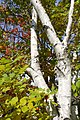 Silver birch (265933899).jpg