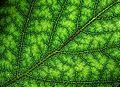 Silver birch leaf.jpg