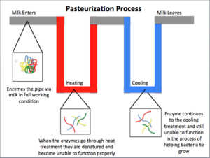 Pasteurization - General overview of the pasteurization process. The milk starts at the left and enters the piping with functioning enzymes that, when heat treated, become denatured and stop the enzymes from functioning. This helps to stop pathogen growth by stopping the functionality of the cell. The cooling process helps stop the milk from undergoing the Maillard reaction and caramelization. The pasteurization process also has the ability to heat the cells to the point that they burst from pressure build up.