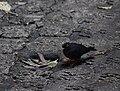 Slaty-backed nightingale-thrush, Costa Rica.jpg