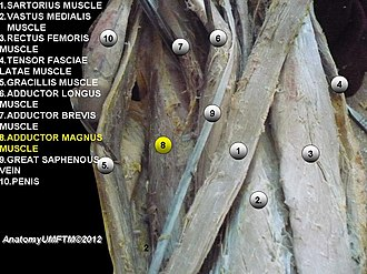 Adductor magnus muscle - Image: Slidee 8