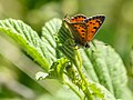 Small Copper (34800236594).jpg