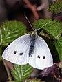 Small White (29742642015).jpg