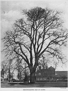 <i>Ulmus</i> × <i>hollandica</i> Dutch elm