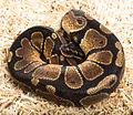 Snake62.jpg