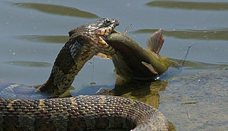 Piscivore - Northern water snake (Nerodia sipedon) eating a fish