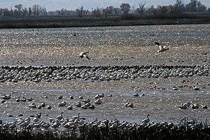 Sacramento National Wildlife Refuge Complex - Snow geese at Sacramento National Wildlife Refuge