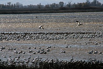 Sacramento National Wildlife Refuge Complex - Snow geese at Sacramento National Wildlife Refuge