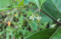 Solanum diphyllum7.jpg