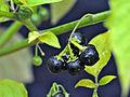 Solanum ptychanthum 5437070.jpg