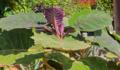 Solanum quitoense IMG 7906.tif