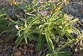 Solanum tumulicola.jpg