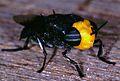 Soldier Fly (Stratiomyidae) (7921148022).jpg
