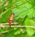 Soldier beetle (28572820855).jpg