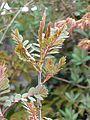 Sorbus sp new foliage - Flickr - peganum (4).jpg
