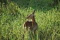 South Luangwa National Park, Zambia (2509249066).jpg