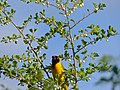 Southern Masked Weaver (Ploceus velatus) feeding on Snowberry Tree (Flueggea virosa) (11802733354).jpg