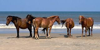 Banker horse A breed of feral horse living on barrier islands in North Carolinas Outer Banks