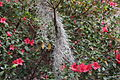 Spanish moss with red azaleas, Drexel Park.JPG