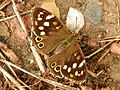 Speckled Wood (Pararge aegeria).jpg
