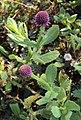 Sphaeranthus indicus 19.JPG