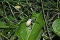 Spider (Argiope aemula) 5733.jpg