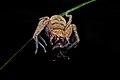 Spider eating insect (La Selva Biological Station).jpg
