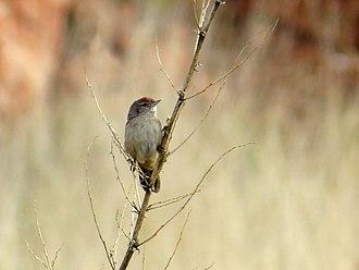 Spinifexbird - Image: Spinifexbird 9402