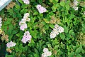 Spiraea japonica Little Princess 4zz.jpg