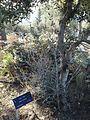 Spiro Dankov tree.jpg