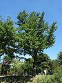 Spomenik prirode Ginko na Vračaru 05.JPG