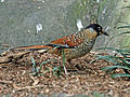 Spotted Laughingthrush, SMTC.jpg