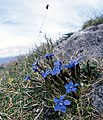 Spring gentians and blue moor grass - geograph.org.uk - 69176.jpg