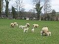 Spring lambs at Acton - geograph.org.uk - 550340.jpg