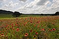 Spring time in the Hill country brings on wild flowers and green grass. (24486794213).jpg