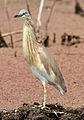 Squacco Heron, Ardeola ralloides at Marievale Nature Reserve, Gauteng, South Africa (15021917584).jpg