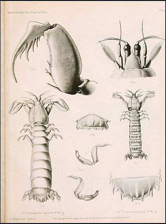 James Wood-Mason - Illustration of Squillidae, including at left what is now Heterosquilla tricarinata by James Wood-Mason
