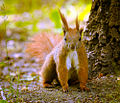 Squirrel (18192313075).jpg