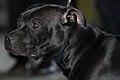 Staffordshire Bull Terrier MWPR Katowice 2008 001.JPG